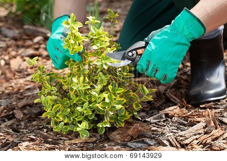 Gardener Pruning A Plant