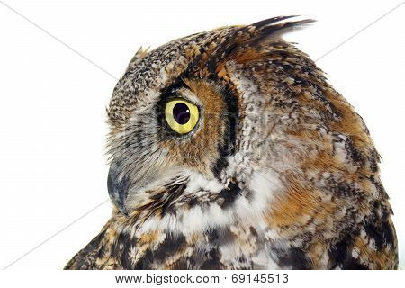 Profile Of A Great Horned Owl On White