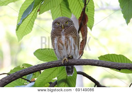 Asian Barred Owlet Glaucidium Cuculoides