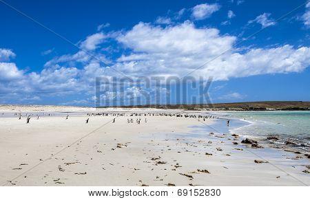 Gento Penguins Colonies At Falkland Islands