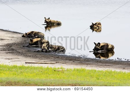 Six Wild Dogs Cooling Down in a Shallow Pond, Liuwa Plains National Park, Zambia, Africa