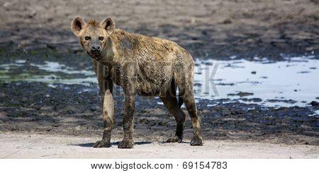 Muddy, Old Hyena on Liuwa Plains, Zambia, Africa