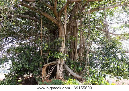 The central trunk of a banyan tree capture on a sunny day afternoon