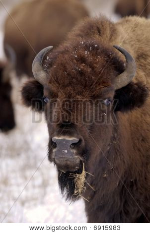 Bison And Snow