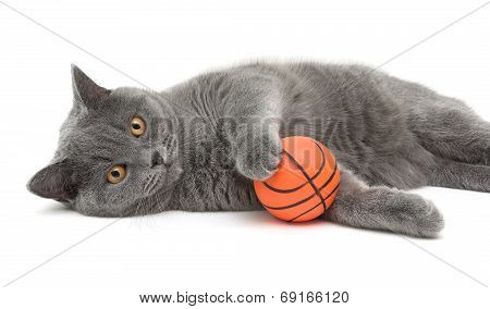 Beautiful Cat Breed Scottish Straight Closeup With Ball On White Background