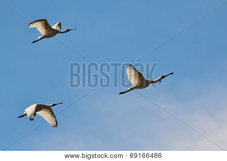 Spoonbill Stork - African Wild Bird Background - Formation Flight