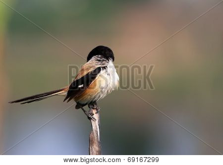 Long Tailed Shrike