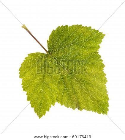 Photo Leaf Of Blackcurrant Ablaze With Light
