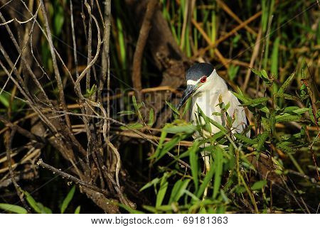 Crowned Night Heron
