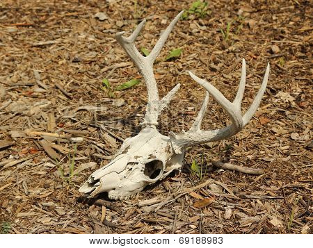 Skull and Antlers