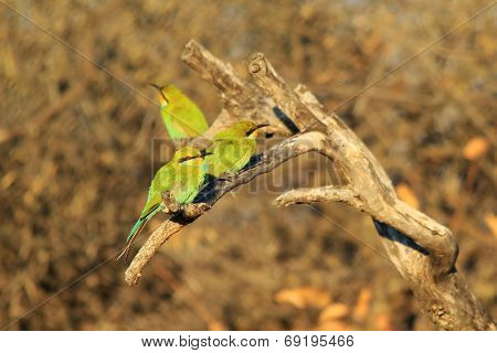 Bee-eater, Swallow tailed - African Wild Bird Background - Beautiful Colors