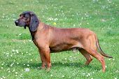 stock photo of scenthound  - Bavarian Moutain Scenthound on a spring meadow - JPG