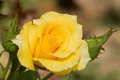picture of yellow buds  - Closeup of a bright yellow rose growing in summer garden - JPG