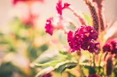 picture of cockscomb  - Celosia or Wool flowers or Cockscomb flower in the garden or nature park vintage - JPG