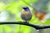 stock photo of jungle birds  - Snowy browed Flycatcher Ficedula hyperythra Birds of Thailand
