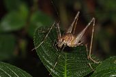 image of cricket insect  - A close up of bush cricket on green leaves at night - JPG