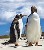 stock photo of falklands  - Two Gento Penguins in the Falklands Islands - JPG