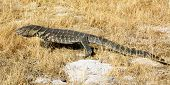 picture of monitor lizard  - Rock Monitor - JPG