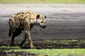 image of hyenas  - Hyena Walking on Liuwa Plains - JPG