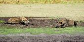 picture of hyenas  - Two Hyenas Relaxing and Sunbathing on Liuwa Plains - JPG
