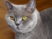 picture of portrait british shorthair cat  - Lilac british shorthair wih yellow eyes portrait - JPG