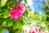 picture of pompous  - blossoming beautiful colorful fuchsia flower outdoor background `Kathy