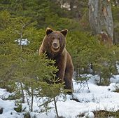foto of omnivore  - Brown bear in the woods in winter - JPG