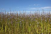pic of chicory  - flowering chicory plants under blue summer sky - JPG