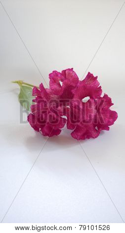 Cockscomb Flower On White Background