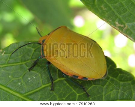 Yellow Harlequin Beetle.
