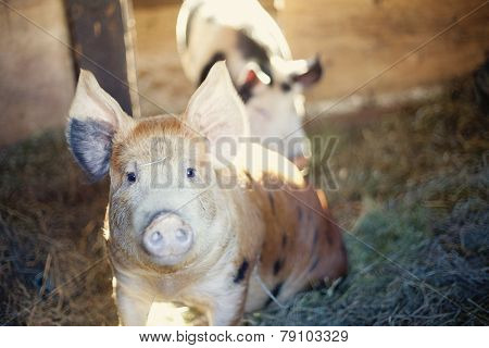 happy berkshire pigs