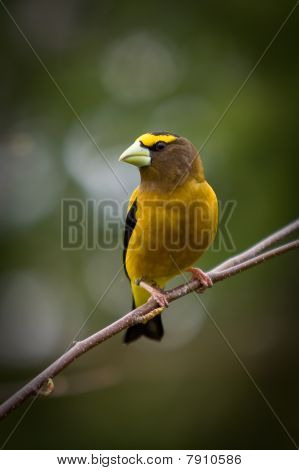 An  Evening Grosbeak