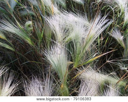 Grass - panicle. Fluffy grass. Dew on the grass.