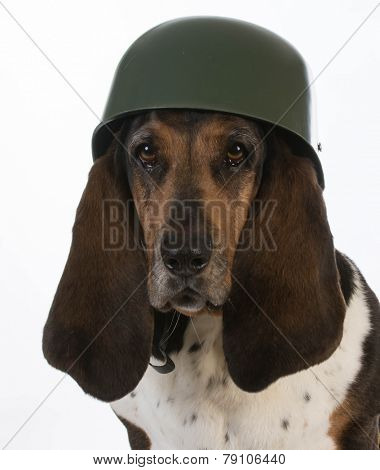 canine soldier - basset hound wearing military helmet on white background