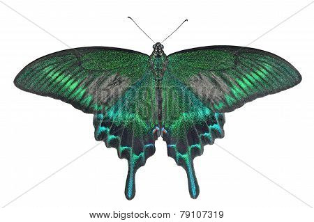 Butterfly (papilio Maackii)
