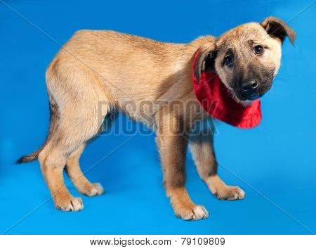 Thin Yellow Puppy In Red Bandanna Standing On Blue
