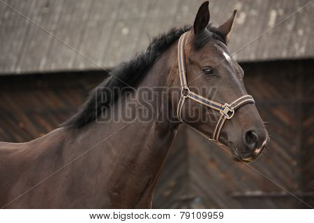 Beautiful Latvian Breed Black Horse Portrait