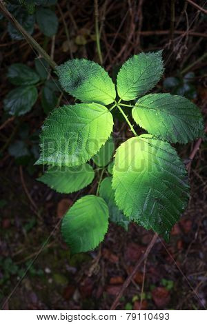 With green color sprayed bramble leaves