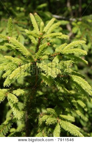 Norway Spruce Shoots