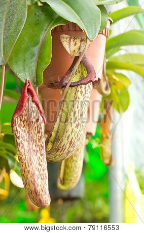 Nepenthes Sanguinea.