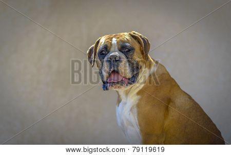 Boxer Profile