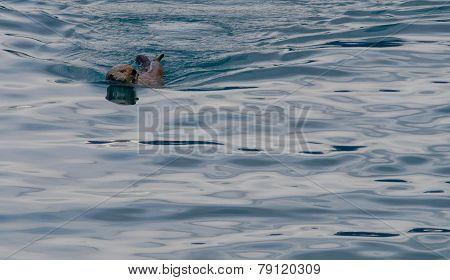 Otter Looking Over Shoulder