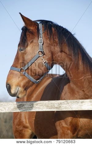Headshot Of A Thoroughbred Horse In Winter Pinfold