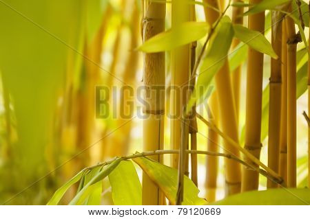 Copy Space Through Bamboo Shoots In Farmland