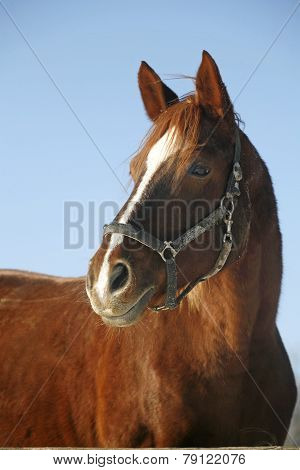 Portrait Of A Nice Purebred Gelding Horse Winter Corral