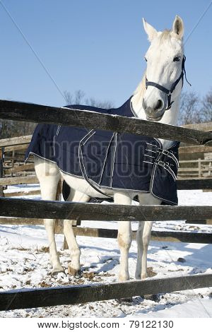 Warm Blood Gray Horse Standing In Winter Corral Rural Scene