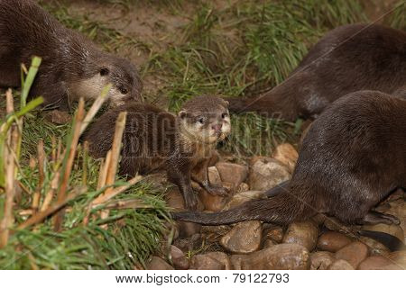 Oriental Short Clawed Otters