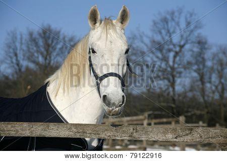 White Horse's  Portrait In Winter Corral Sunny Day