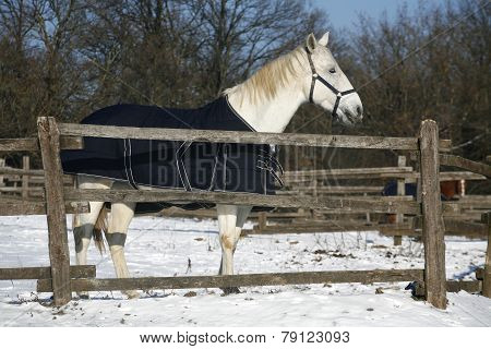 Warm Blood Grey Horse Standing In Winter Corral Rural Scene