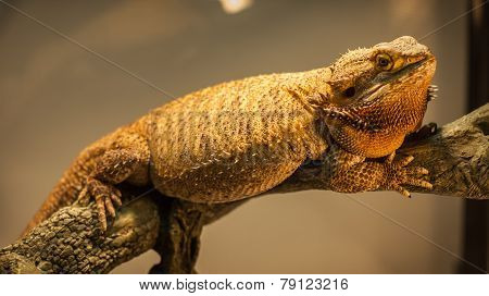 German Giant Bearded Dragon.